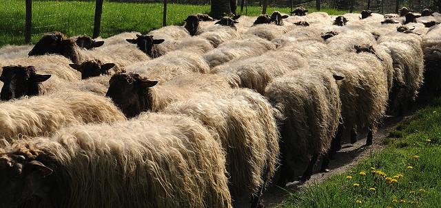 flock of sheet